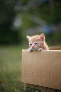 ダンボールの縁にしがみつく捨て猫の写真素材 [FYI00133665]