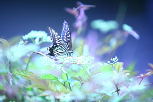 花の蜜を吸うアゲハチョウの素材 [FYI00133668]