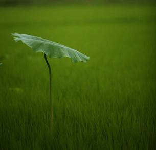 緑色の背景に浮かぶ大きな蓮の葉の写真素材 [FYI00133669]