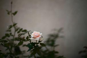 薄いピンク色のバラの素材 [FYI00133673]