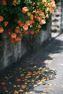 咲き誇る花と道に落ちた花びらの写真素材 [FYI00133674]