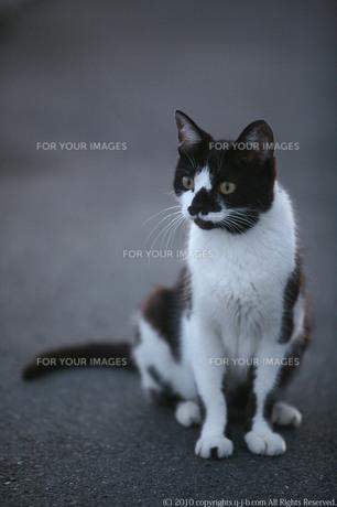 ユニークな模様の野良猫の素材 [FYI00133677]