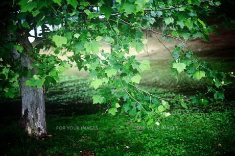 初夏にきらめく緑色の葉の写真素材 [FYI00133689]
