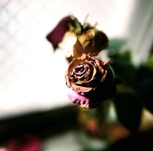 窓辺の枯れはじめたバラの素材 [FYI00133698]