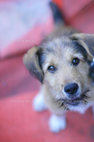 赤い背景と仔犬の写真素材 [FYI00133700]