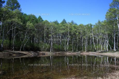 春の白樺並木の池の素材 [FYI00133703]