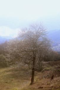 白い花をつけた一本の樹の素材 [FYI00133709]