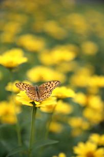 黄色い花と蝶の写真素材 [FYI00133715]