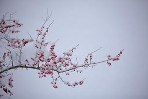 赤い実を付けた枝に積もる雪の素材 [FYI00133728]