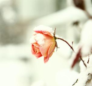 バラの花に積もる雪の写真素材 [FYI00133730]