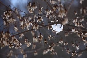 雪の積もる枯れた枝木の素材 [FYI00133731]