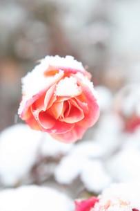 雪の積もるバラの花の写真素材 [FYI00133738]
