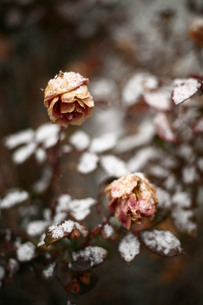 枯れた薔薇に積もる雪の素材 [FYI00133743]