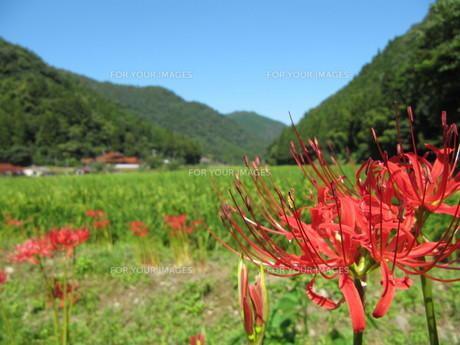 否かに咲く彼岸花の写真素材 [FYI00133771]