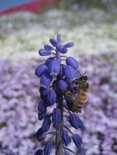 蜜蜂とラベンダーの写真素材 [FYI00133789]