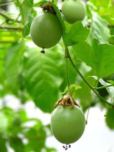 オオミノトケイソウの果実の写真素材 [FYI00133812]