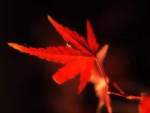 萌える紅葉の写真素材 [FYI00134138]