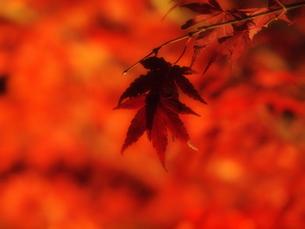 赤い紅葉の写真素材 [FYI00134139]
