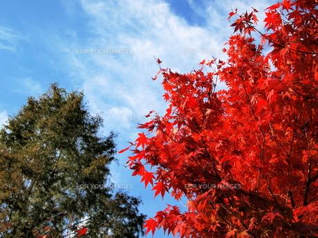 青空と紅葉の写真素材 [FYI00134140]