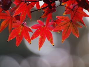 紅葉の写真素材 [FYI00134152]
