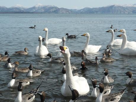 おねだりする白鳥たちの写真素材 [FYI00134162]
