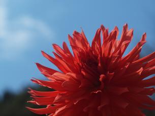 太陽みたいなダリアの写真素材 [FYI00134165]