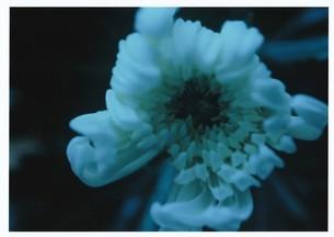 ジゼルの俯瞰 / 被写体:菊の素材 [FYI00134193]