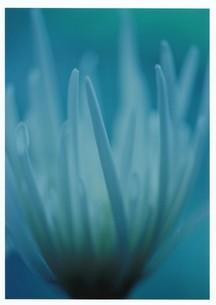 ジゼル / 被写体:菊の素材 [FYI00134196]