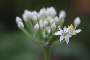 二つだけ先発隊 / 被写体:葱系の花の素材 [FYI00134220]