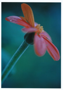 羽ばたけ / 被写体:野花の素材 [FYI00134223]