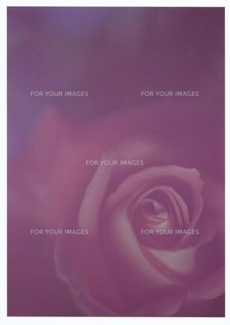 薄ピンクの薔薇 / 被写体:薔薇の素材 [FYI00134224]