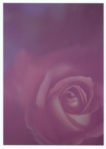 薄ピンクの薔薇 / 被写体:薔薇の写真素材 [FYI00134224]
