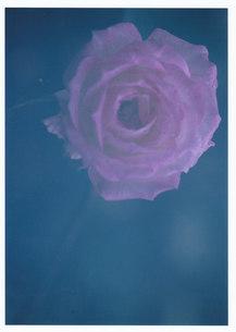 眠たいミニ薔薇 / 被写体:ミニ薔薇の素材 [FYI00134225]