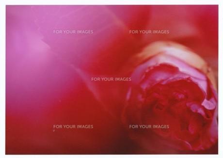 ピンクに色づく / 被写体:椿の素材 [FYI00134232]