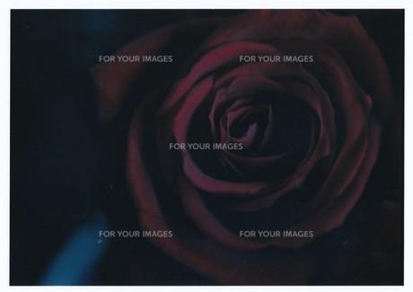 大人の時間 / T64で撮った赤い薔薇の素材 [FYI00134238]