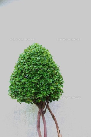 美しく剪定された古木 / 被写体:ベンジャミンの素材 [FYI00134240]