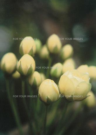 蕾の木香花の素材 [FYI00134244]