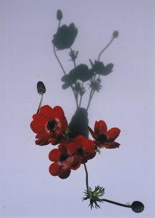 赤いアネモネとその影の素材 [FYI00134245]