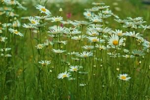 白い草花の群生の素材 [FYI00134257]