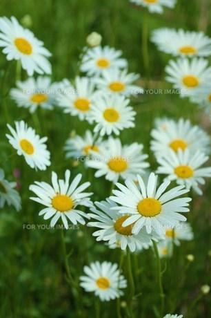 白い草花の群生Ⅱの素材 [FYI00134260]