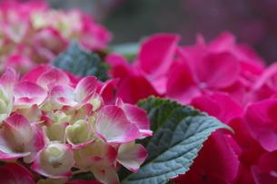 母の日の紫陽花の素材 [FYI00134262]