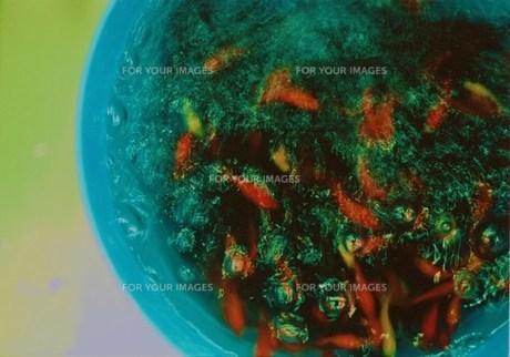 水槽に入れる前の金魚大群の写真素材 [FYI00134263]