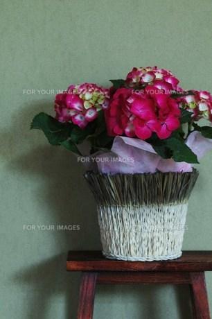 母の日の鉢植え紫陽花の素材 [FYI00134264]