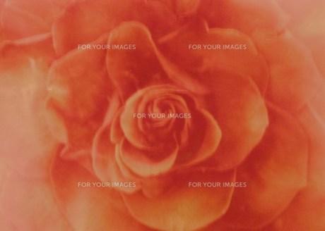 ぼんやりバラの花の素材 [FYI00134267]