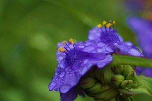 朝の紫露草(インク花)の写真素材 [FYI00134269]