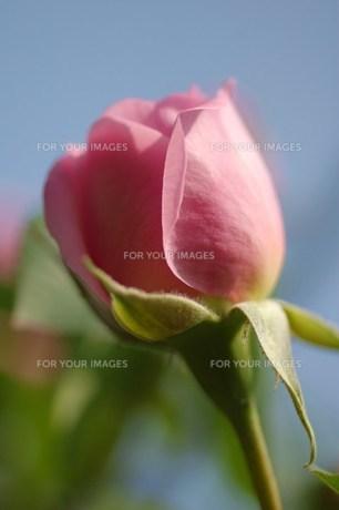 蕾のピンクのイングリッシュローズの素材 [FYI00134270]