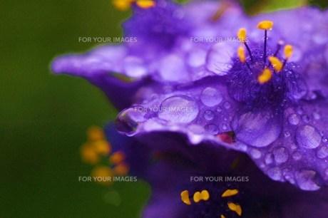 雨上がりの紫露草(インク花)の素材 [FYI00134271]