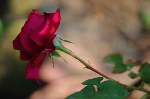 咲き始めの赤いイングリッシュローズの素材 [FYI00134272]