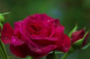赤いイングリッシュローズの写真素材 [FYI00134275]