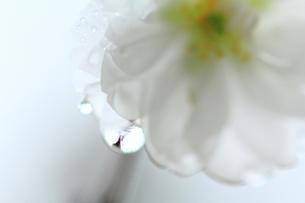 白いしずくの写真素材 [FYI00134401]